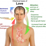 How_Love_Works_Chemical_basis_of_love_TheZeroLife.Com_.png